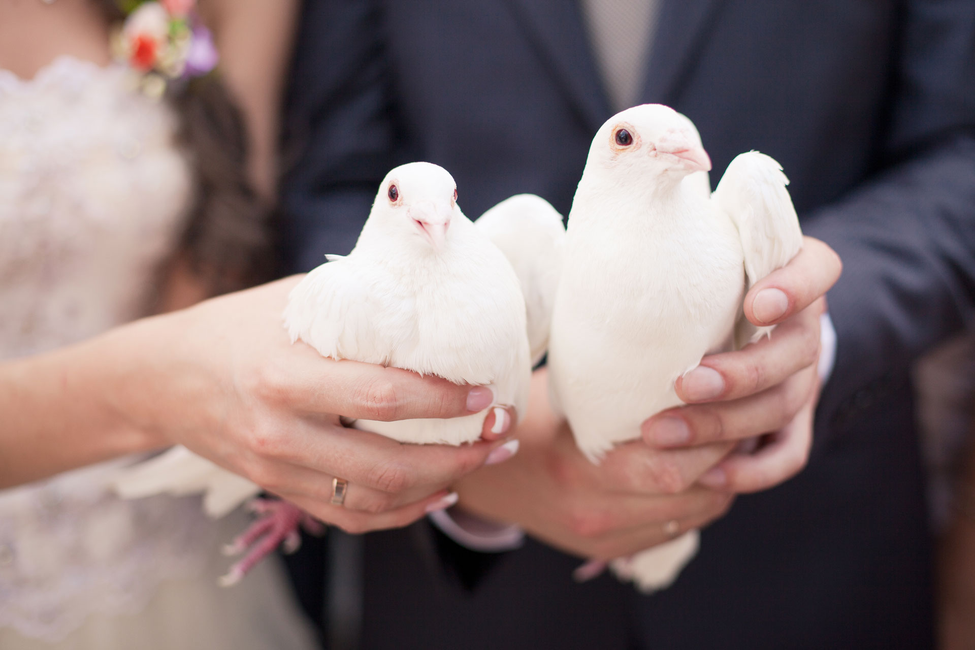 White-Dove-for-Weddings