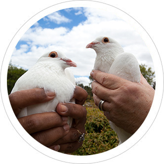 Doves of love | White dove release service for weddings, funerals and public events in Perth