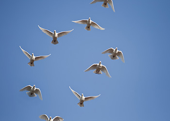 A flock of angel white doves released at a funeral