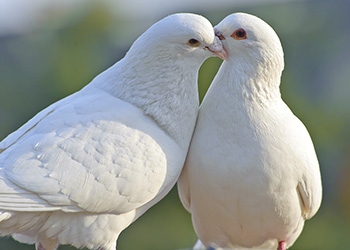 Release white doves at a funeral with a tender angel