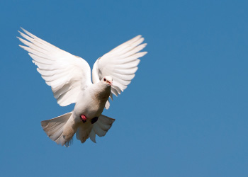 A white dove release in memory of a departed one